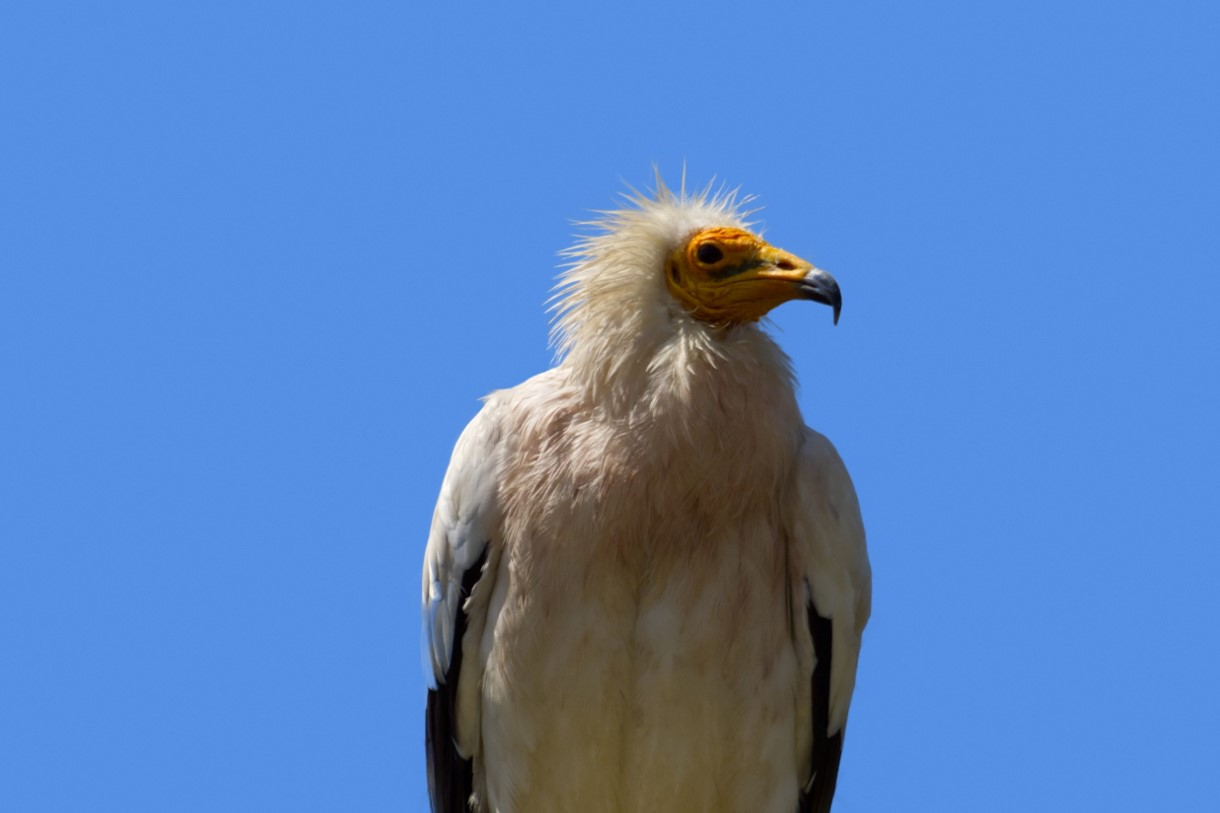 Egyptian Vulture – another interesting Cretaceous play test
